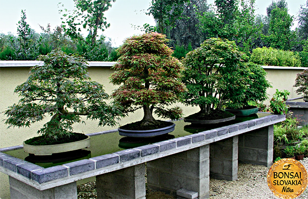 ginkgo bonsai center. Black Bedroom Furniture Sets. Home Design Ideas
