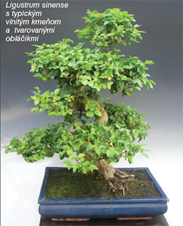 Bytové bonsaje - Indoor Bonsai - Ligustrum chinensis - Bonsai centrum Nitra