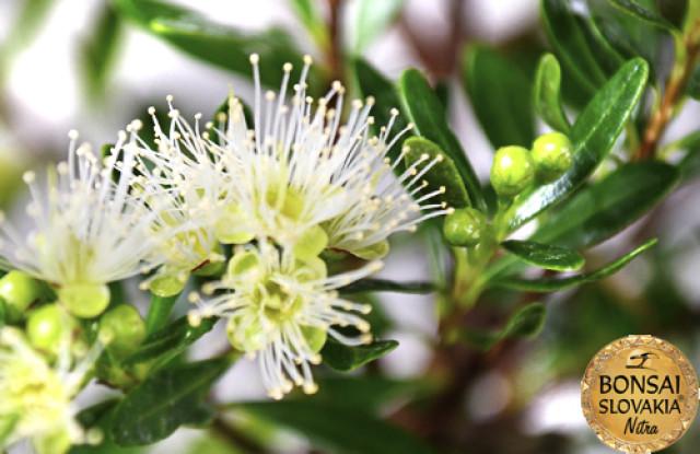 KLINČEKOVEC - Syzygium buxifolium, 28cm