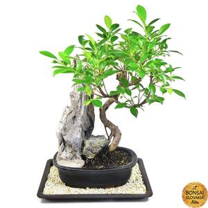 BONSAI SET: Ficus retusa so skalou + DARČEK